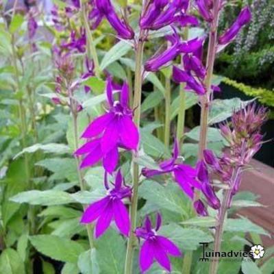 Lobelia x speciosa 'Hadspen Purple' -