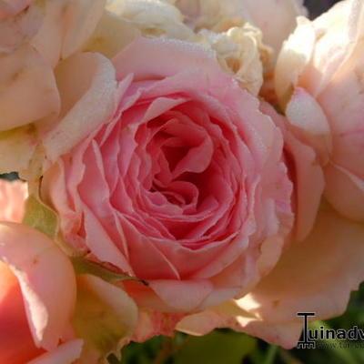 Rosa 'Bjorn Boy' -