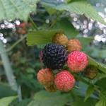 Rubus occidentalis 'Black Jewel' - Zwarte framboos - Rubus occidentalis 'Black Jewel'