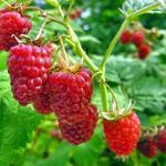 Rubus idaeus 'Glen Ample' - Rubus idaeus 'Glen Ample' - Zomerframboos