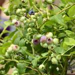 Vaccinium corymbosum 'Northland' - Blauwe bes - Vaccinium corymbosum 'Northland'