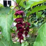 Fazantenbes, Karamelbes, Grootmoeders oorbel - Leycesteria formosa 'Purple Rain'