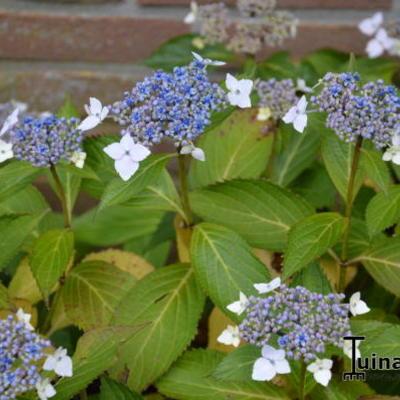 Hydrangea  macrophylla  'Mariesii Lilacina' -