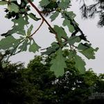 Quercus robur - Zomereik - Quercus robur