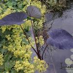 Colocasia esculenta 'Black Magic' - Olifantenoor - Colocasia esculenta 'Black Magic'