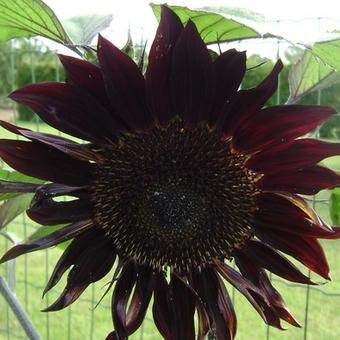 Helianthus annuus 'Moulin Rouge'