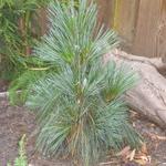 Pinus x schwerinii 'Wiethorst' - Den - Pinus x schwerinii 'Wiethorst'