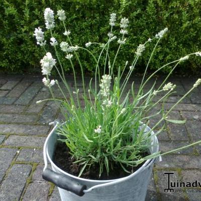 cultivars van lavendel lavandula angustifolia 39 nana alba 39. Black Bedroom Furniture Sets. Home Design Ideas