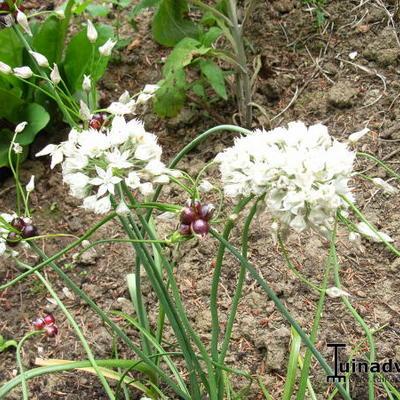 Allium amplectens -