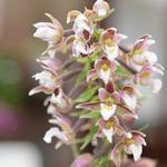Epipactis palustris - Orchidee - Epipactis palustris