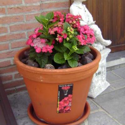 Hydrangea macrophylla 'Jixi' -
