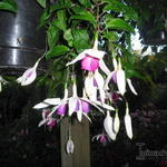 Fuchsia 'Windhapper' - Bellenplant