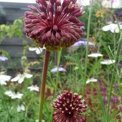 Allium amethystinum 'Red Mohican' -