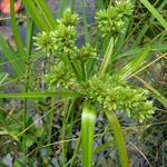 Cyperus alternifolius - Parapluplant - Cyperus alternifolius