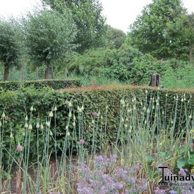 Allium ampeloprasum -