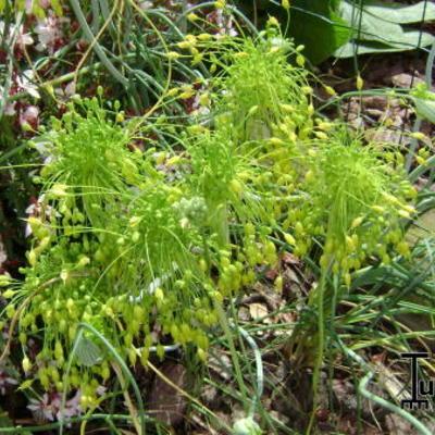 Allium flavum -