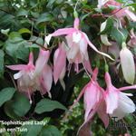 Fuchsia 'Sophisticated Lady' - Bellenplant