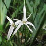 Rhynchospora colorata - Sterdanseres, Stergras, Witte snavelbies - Rhynchospora colorata