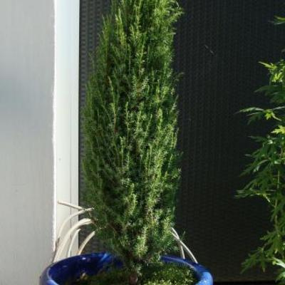 Juniperus communis 'Arnold' - Jeneverbes