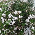 Jasminum officinale - Gewone jasmijn - Jasminum officinale
