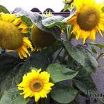 Helianthus annuus - Helianthus annuus - Zonnebloem, gewone zonnebloem