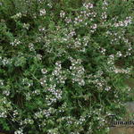 Thymus vulgaris 'Deutscher Winter' - Duitse tijm