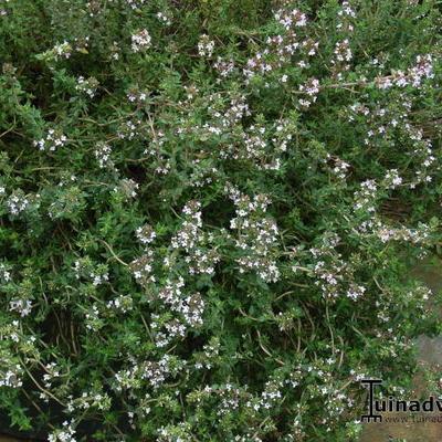 Thymus vulgaris 'Deutscher Winter' -