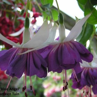 Fuchsia 'Blue Angel'