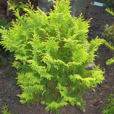 Chamaecyparis pisifera 'Plumosa Aurea' -