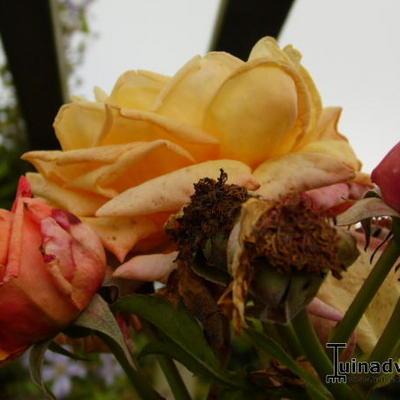 Rosa 'Barock' -