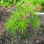 Sciadopitys verticillata - Sciadopitys verticillata - Parasolden, kransspar