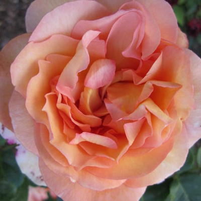 Rosa 'Passiflora'  -