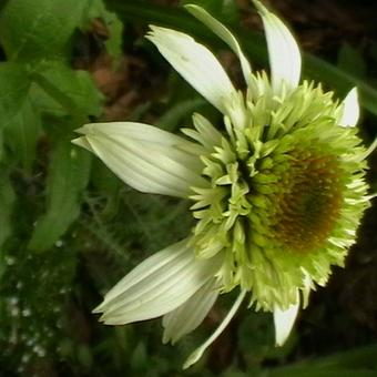 Echinacea purpurea 'White Double Delight'