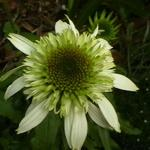 Echinacea purpurea 'White Double Delight' - Rode zonnehoed