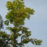 Metasequoia glyptostroboides 'Goldrush' - Metasequoia glyptostroboides 'Goldrush' - Watercypres