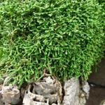 Selaginella sanguinolenta  -