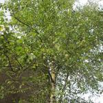 Betula pendula - Gewone berk - Betula pendula