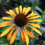 Echinacea purpurea 'Phoenix' - Echinacea purpurea 'Phoenix' - Rode zonnehoed