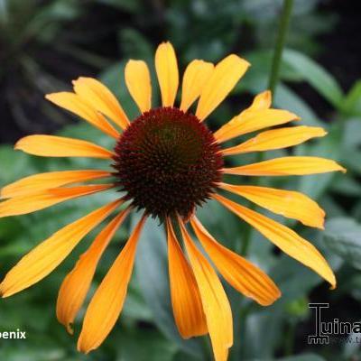 Echinacea purpurea 'Phoenix' -