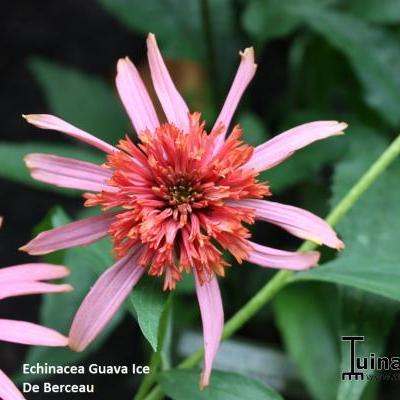 Echinacea purpurea 'Guava Ice' -