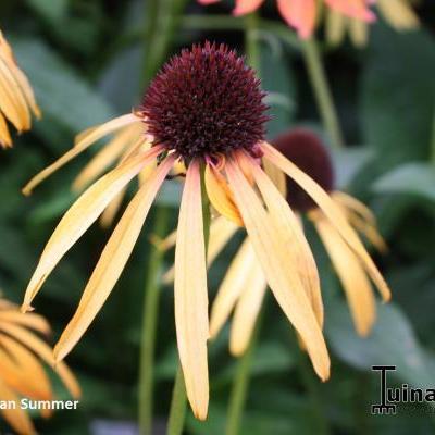 Echinacea purpurea 'Indian Summer' -