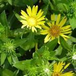 Grindelia robusta -