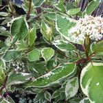 Cornus alba 'Elegantissima' - Cornus alba 'Elegantissima' - Kornoelje, witbonte kornoelje