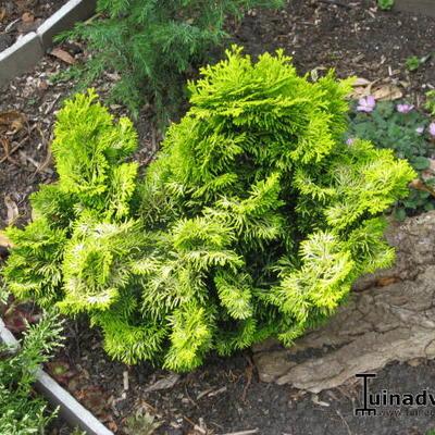 Chamaecyparis obtusa 'Nana Lutea' -