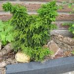 Cryptomeria japonica 'Yokohama' - Japanse ceder , Japanse sikkelden - Cryptomeria japonica 'Yokohama'
