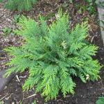 Chamaecyparis lawsoniana 'Sunkist' - Chamaecyparis lawsoniana 'Sunkist' - Schijncipres