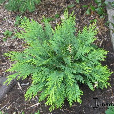 Chamaecyparis lawsoniana 'Sunkist' -