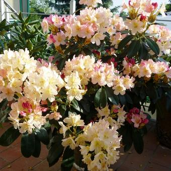 Rhododendron 'Tortoiseshell Champagne'