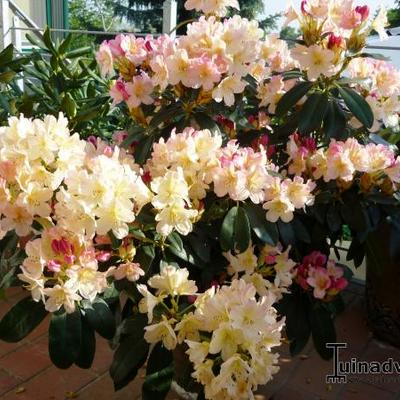 Rhododendron 'Tortoiseshell Champagne' - Rododendron