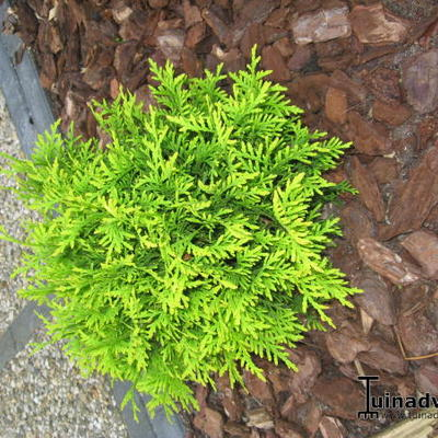 Thuja occidentalis 'Mr. Bowling Ball' - Levensboom